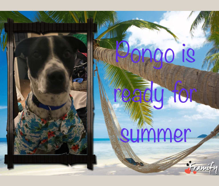Photo of Pongo, an American Pit Bull Terrier, Australian Cattle Dog, and Bull Terrier mix in Pennsylvania, USA