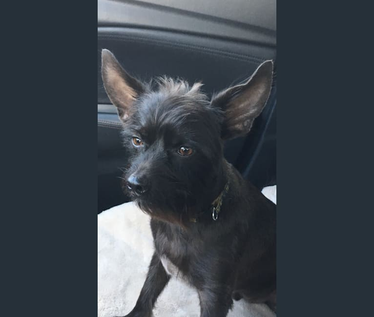 Photo of Brody, a Yorkshire Terrier, Chihuahua, Miniature Pinscher, and Mixed mix in Lakewood Ranch, Florida, USA