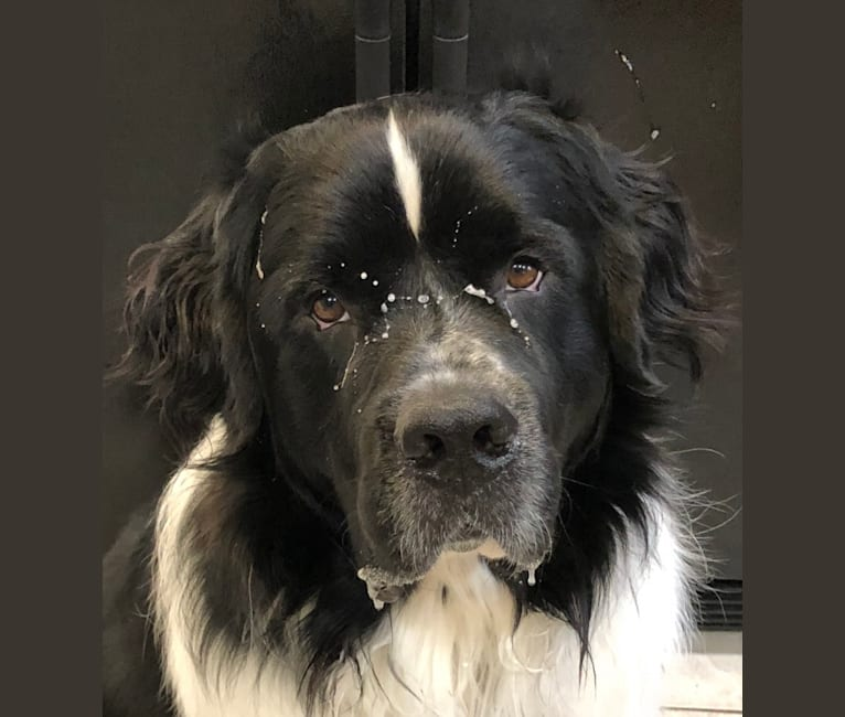 Photo of Huey, a Newfoundland  in Tennessee, USA