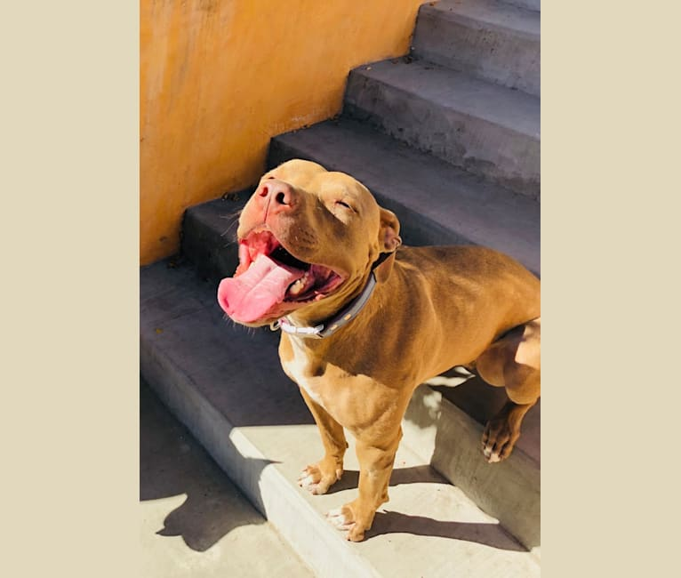 Photo of Mr Snuggles, an American Pit Bull Terrier  in Downey, California, USA