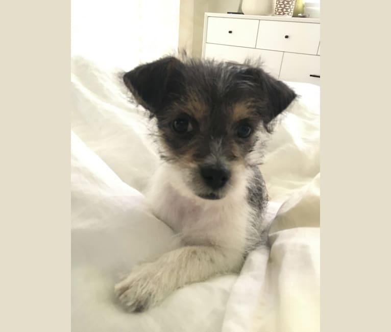 Photo of Captain, a Chihuahua, Pekingese, Dachshund, and Mixed mix in Fresno, California, USA