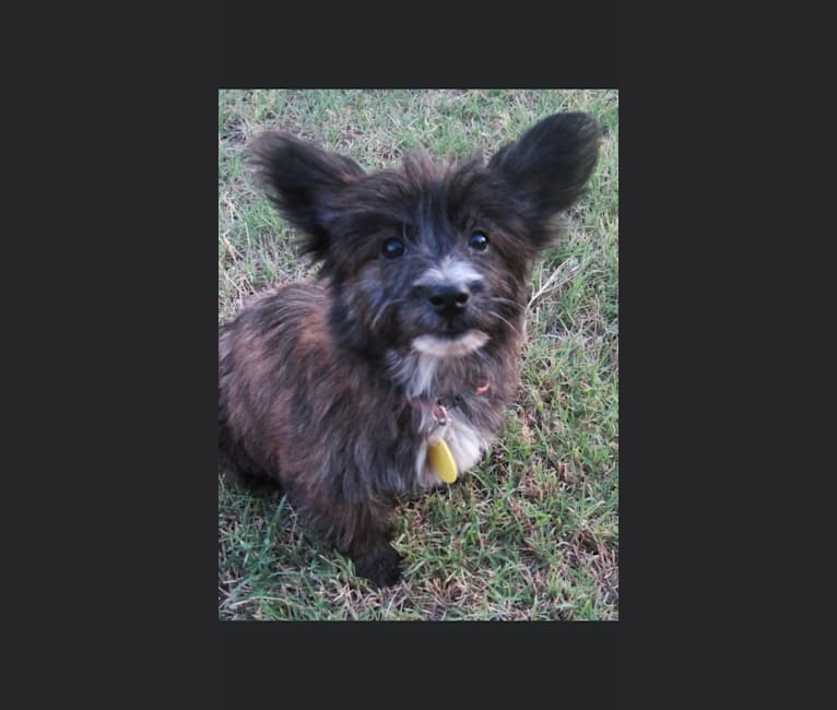 Photo of idabel gypsy, a West Highland White Terrier, Chihuahua, and Dachshund mix in Yukon, Oklahoma, USA