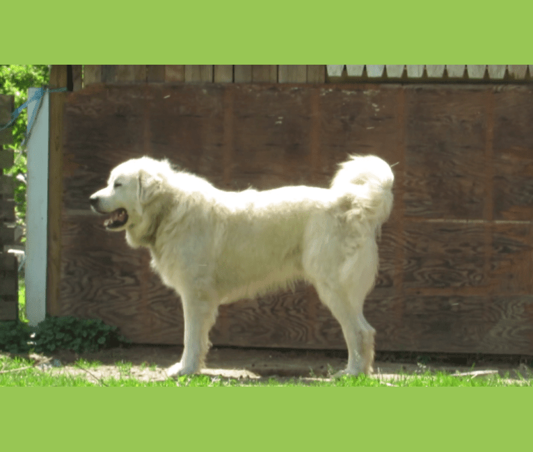 Photo of Moose, a Great Pyrenees  in Virginia, USA