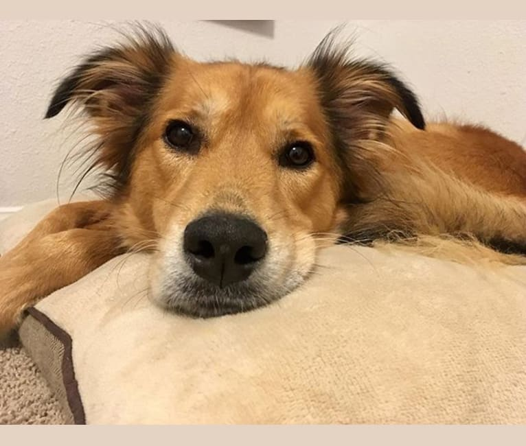 Photo of Einstein, a Great Pyrenees, American Pit Bull Terrier, Chow Chow, Labrador Retriever, and Mixed mix in Texas, USA