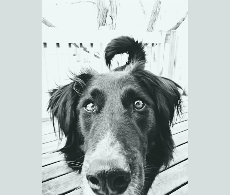 Photo of Zane, a Shetland Sheepdog, Labrador Retriever, Border Collie, Siberian Husky, and Chinese Shar-Pei mix in Wadena, Minnesota, USA