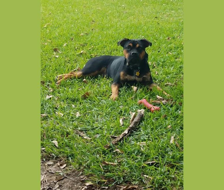 Photo of Lola, a Bulldog, Australian Cattle Dog, American Bulldog, and American Staffordshire Terrier mix in Silsbee, Texas, USA
