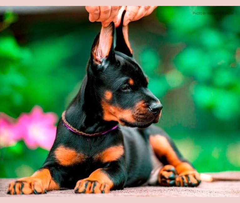 Photo of Pride of Russia Versailles (Kraven), a Doberman Pinscher  in Moscow, Russia