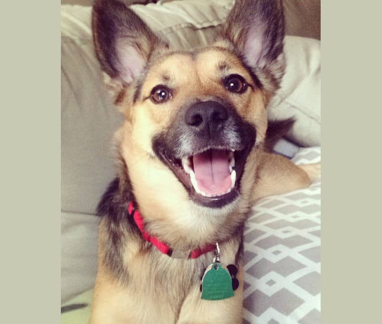 Photo of Jax, a Rat Terrier, American Eskimo Dog, Collie, and Mixed mix in Mississippi, USA
