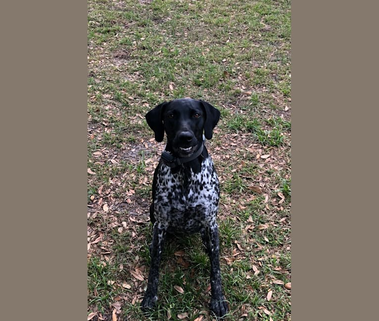 Photo of Lillie, a German Shorthaired Pointer  in Eustis, FL, USA