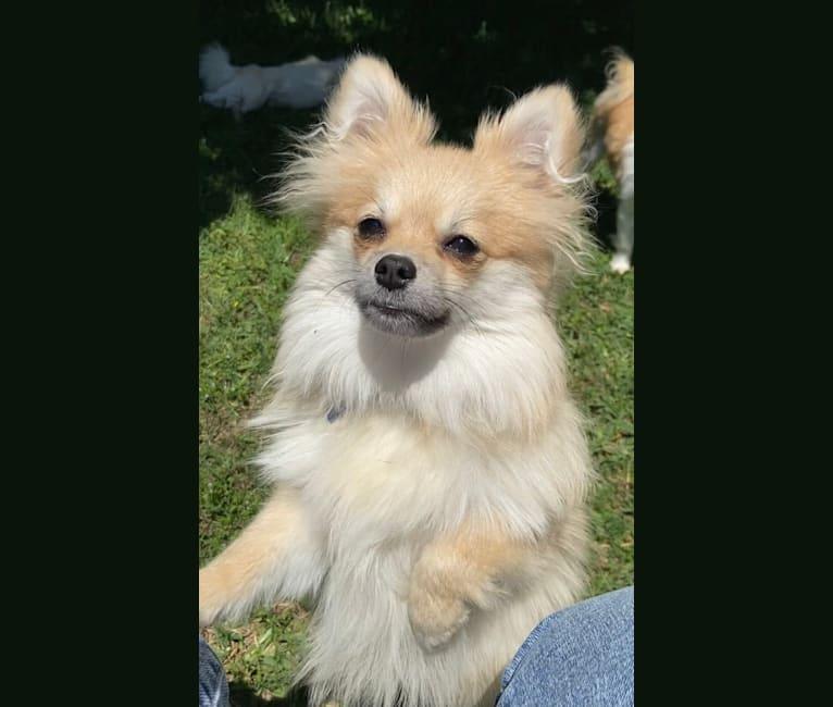Photo of Okami, a Pomeranian  in Fort Worth, Texas, USA