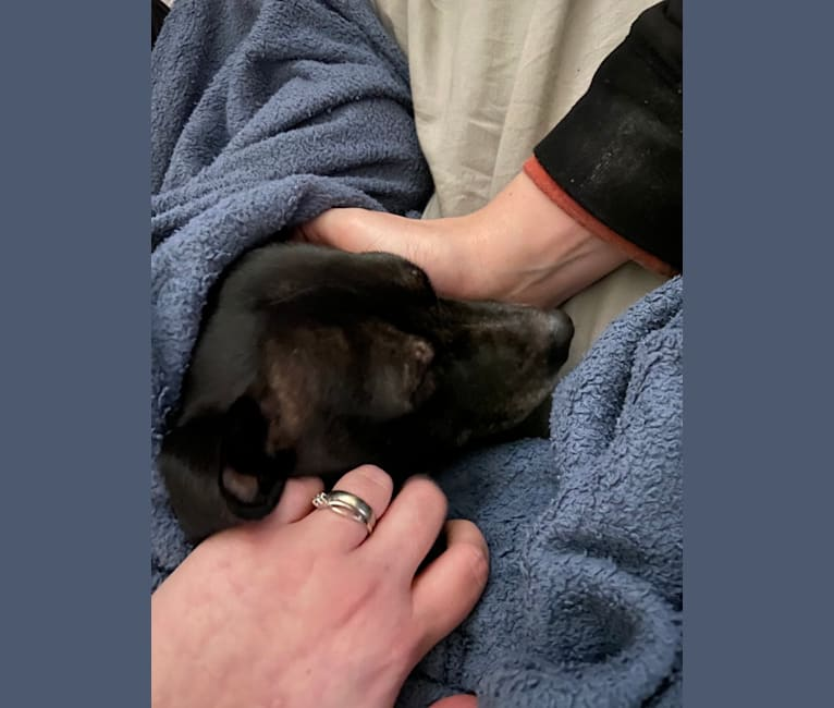 Photo of Caly, a Chihuahua, Boston Terrier, Pug, American Staffordshire Terrier, Dachshund, and Mixed mix in Houston, Texas, USA