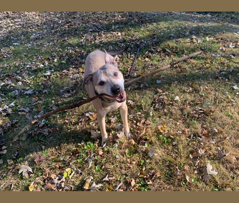 Photo of Clyde, an American Pit Bull Terrier  in Waterloo, Illinois, USA