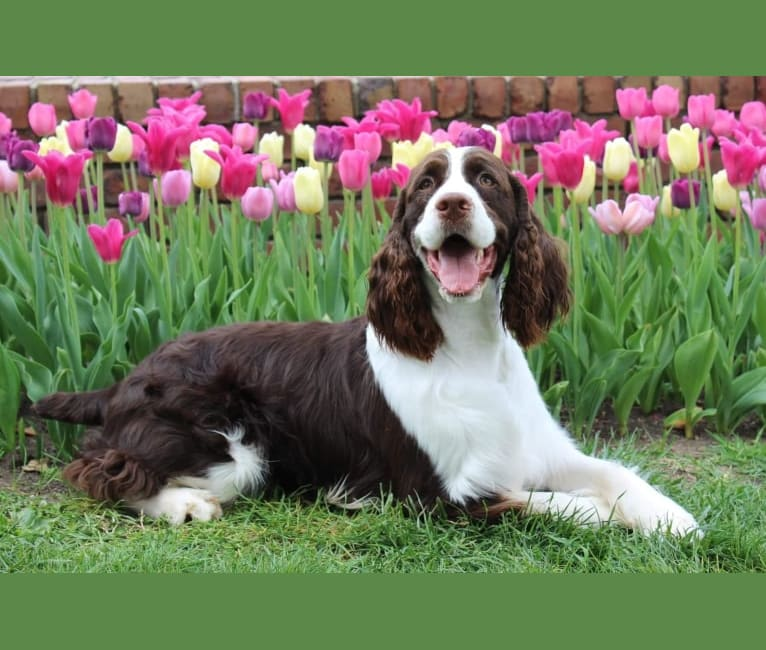 """Photo of VinEwood's I'm Your Huckleberry """"Doc"""", an English Springer Spaniel  in Inver Grove Heights, Minnesota, USA"""