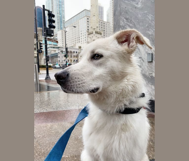 Photo of Lucky, a Great Pyrenees and German Shepherd Dog mix in Chicago, Illinois, USA