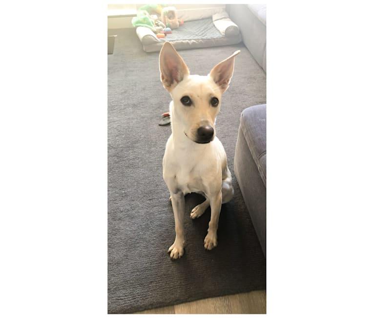 Photo of Harley, a Formosan Mountain Dog and Labrador Retriever mix