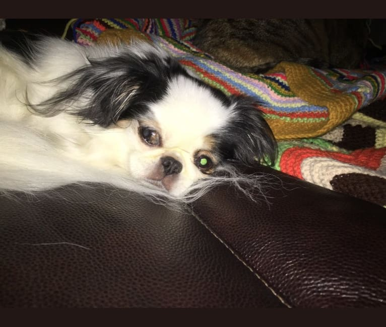 Photo of Cucumber, a Shih Tzu and Japanese Chin mix in Dallas, TX, USA