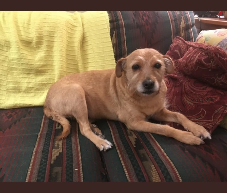 Photo of Horizon, an American Pit Bull Terrier, Poodle (Small), Chihuahua, Cocker Spaniel, and Mixed mix in Anchorage, Alaska, USA