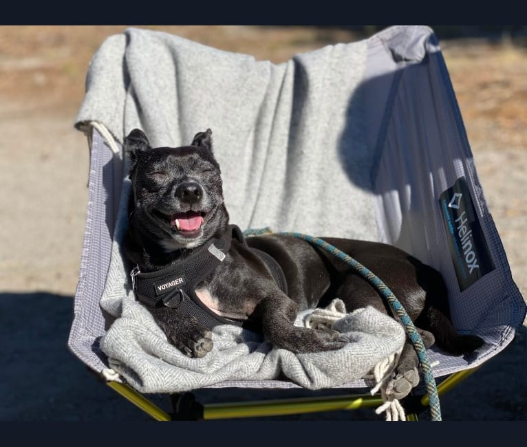 Photo of Edgar, a Chihuahua, Miniature Pinscher, Poodle (Small), American Pit Bull Terrier, and Mixed mix in Sunnyvale, California, USA