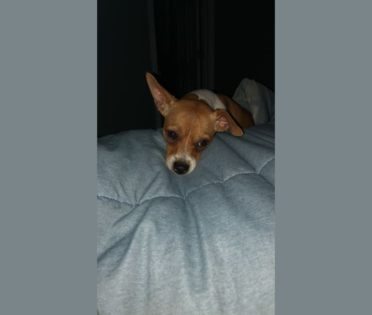 Photo of Sulley, a Chihuahua, Miniature Pinscher, and Russell-type Terrier mix in Apopka, Florida, USA