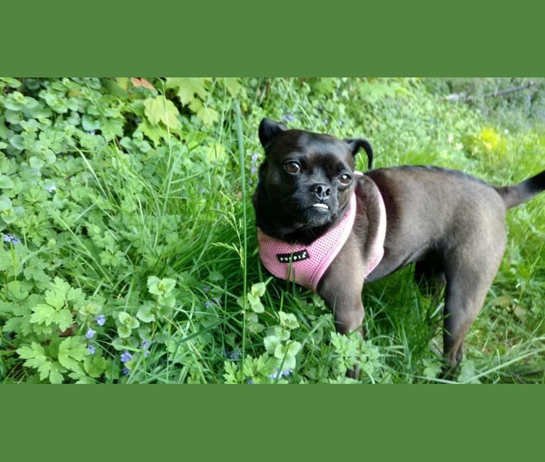 Photo of Lucy, a Miniature Pinscher and Pug mix in Nashville, Tennessee, USA