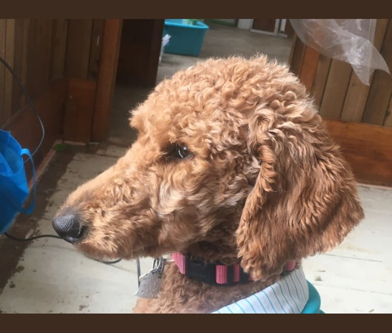 Photo of Red Rosie, a Poodle (Standard)  in Florida, USA