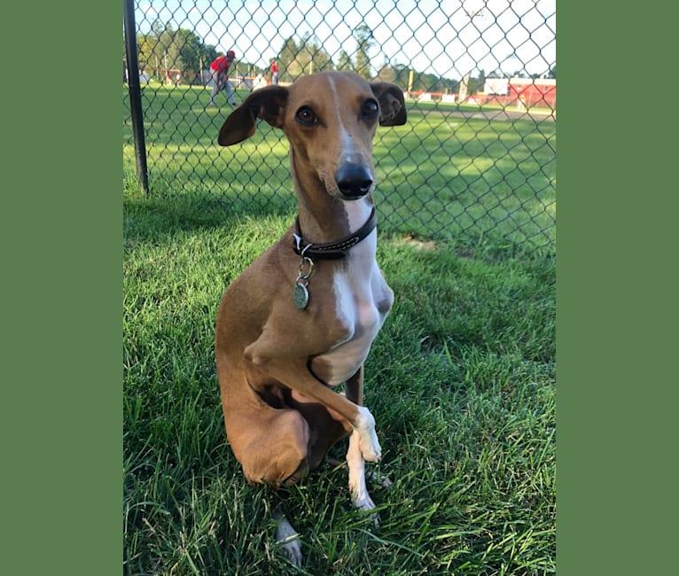 Photo of Winston, an Italian Greyhound  in Clemson, South Carolina, USA