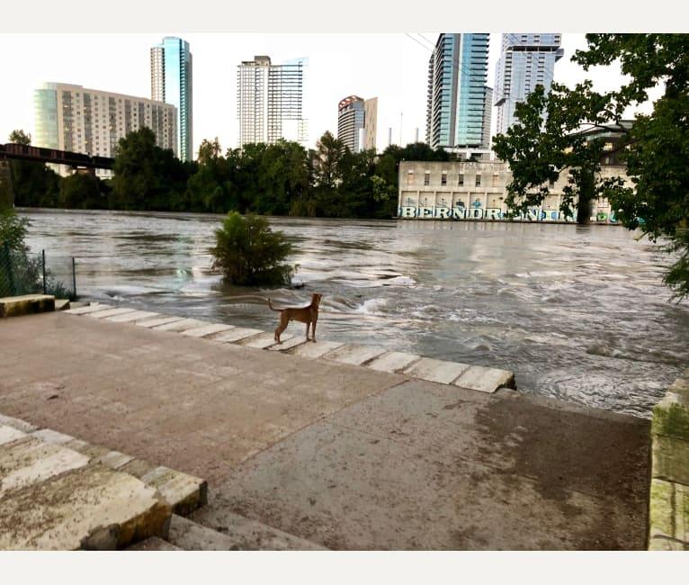 Photo of Malakai, an American Pit Bull Terrier, Chow Chow, Boxer, and German Shepherd Dog mix in San Antonio, Texas, USA