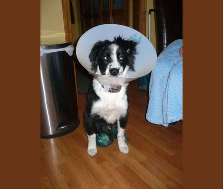 Photo of Apollo, a Border Collie and Australian Shepherd mix in North Carolina, USA