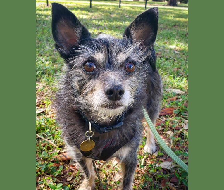 Photo of Griffin, a Chinese Crested, Pomeranian, Poodle (Small), and Chihuahua mix in Pensacola, Florida, USA