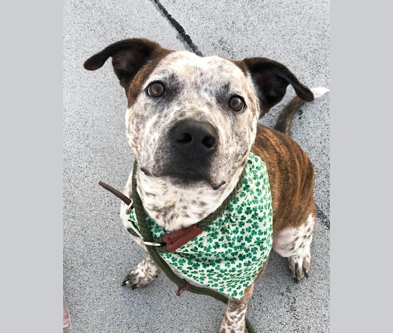 Photo of Dave, an American Pit Bull Terrier, Australian Cattle Dog, and Beagle mix in Tennessee, USA