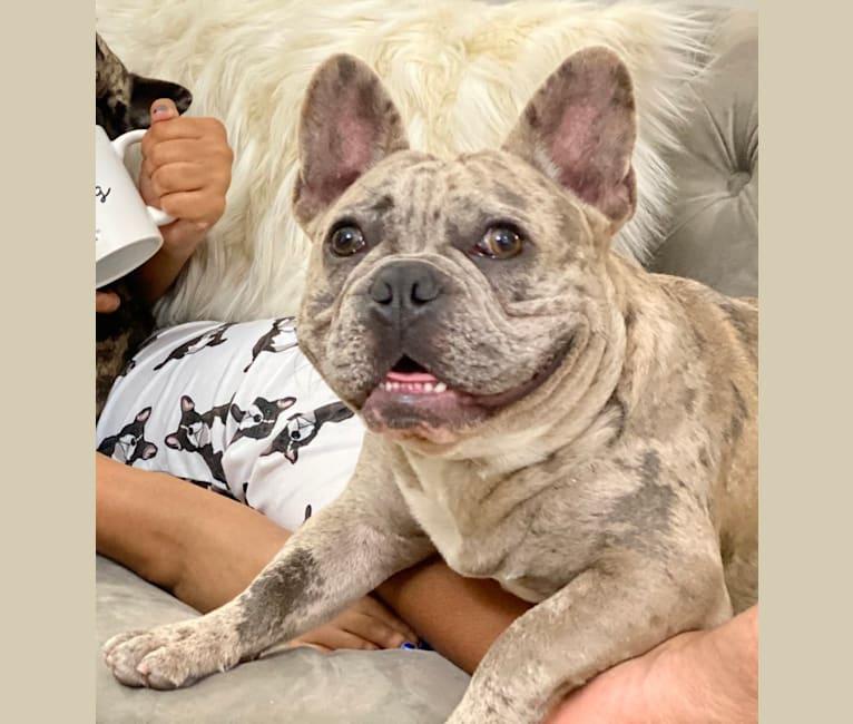 Photo of George, a French Bulldog  in Huntsville, AR, USA