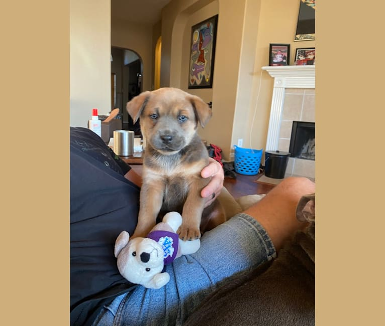 Photo of Coco, a German Shepherd Dog, Boxer, Chow Chow, and American Pit Bull Terrier mix in Texas, USA