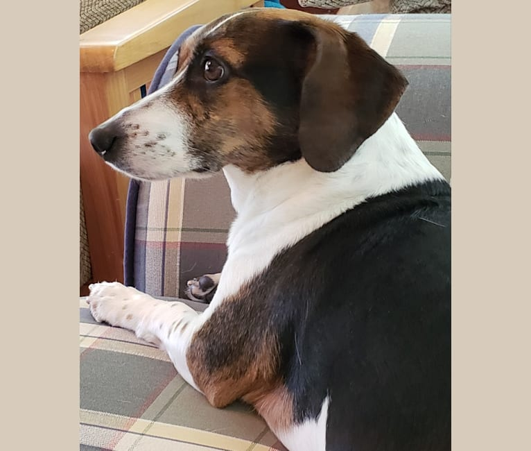 Photo of Annie, a Beagle and Rat Terrier mix in Greenville, North Carolina, USA