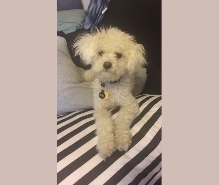 Photo of Hannibal, a Poodle (Small), Chihuahua, and Maltese mix in Los Angeles, California, USA