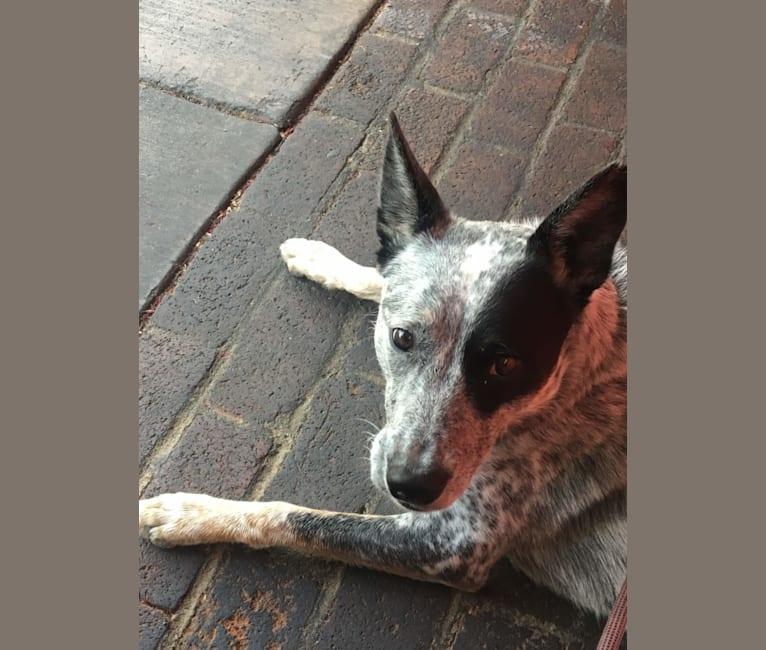 Photo of Prozac, an Australian Cattle Dog  in San Jose, California, USA