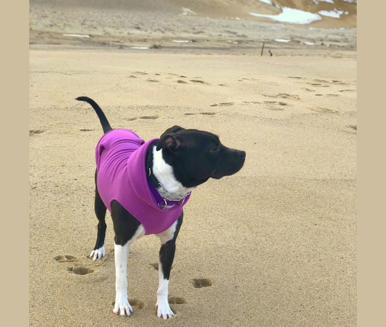 Photo of Lexi, an American Pit Bull Terrier, American Staffordshire Terrier, and Mixed mix in South Carolina, USA