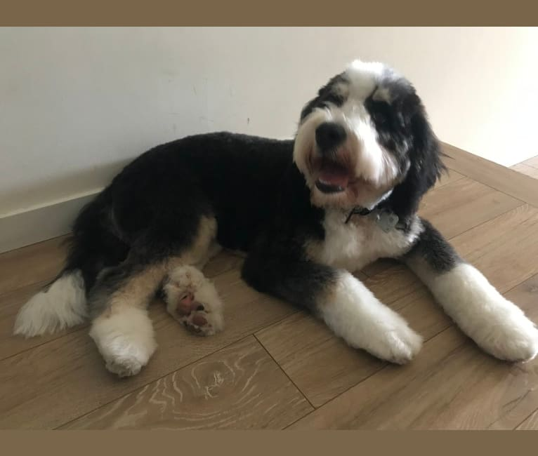 Photo of Finnbarr, a Bernese Mountain Dog, Poodle (Standard), and Poodle (Small) mix in Campbell River, BC, Canada