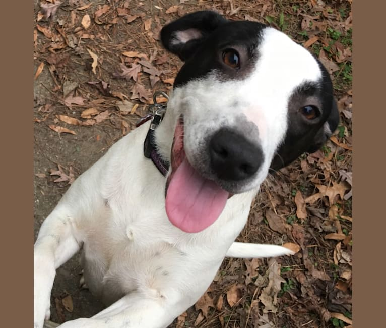 Photo of Ella Boccella, an American Pit Bull Terrier, American Staffordshire Terrier, and Labrador Retriever mix in Saving Grace NC, Wake Forest, NC, USA