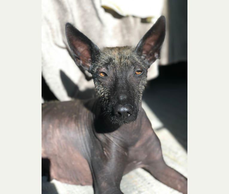 Photo of Kahla, a Xoloitzcuintli  in Austin, Texas, USA