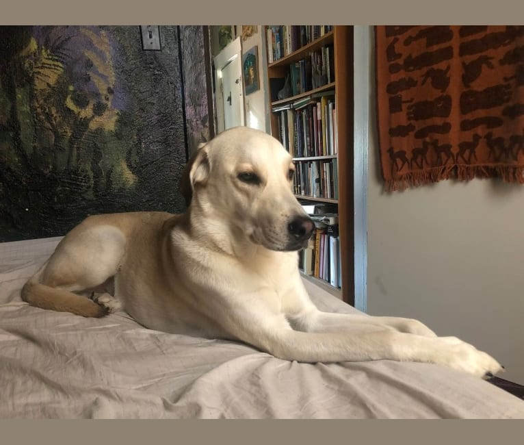 Photo of Leo, a Labrador Retriever, Siberian Husky, Great Pyrenees, and American Pit Bull Terrier mix in Oklahoma, USA