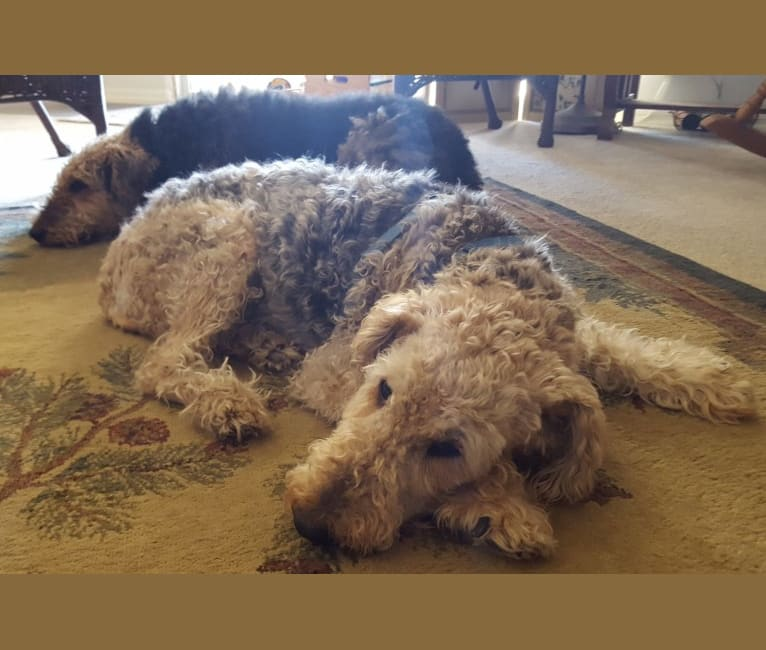 Photo of Maxi, an Airedale Terrier  in Akron, Ohio, USA