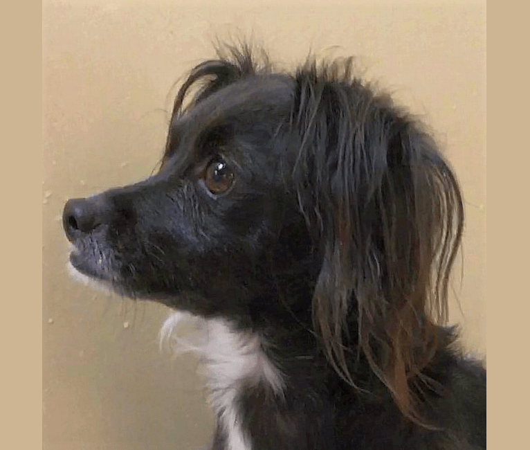 Photo of Jackson, a Chihuahua, Rat Terrier, Poodle (Small), and Mixed mix in Sonoma, California, USA