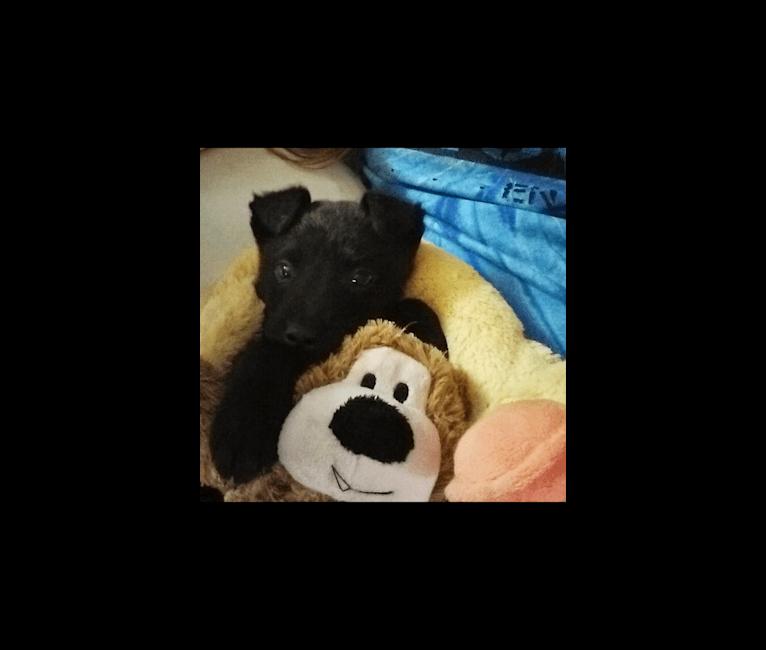 Photo of Koda, an Australian Cattle Dog, Labrador Retriever, American Pit Bull Terrier, Chow Chow, and Mixed mix in Kentucky, USA