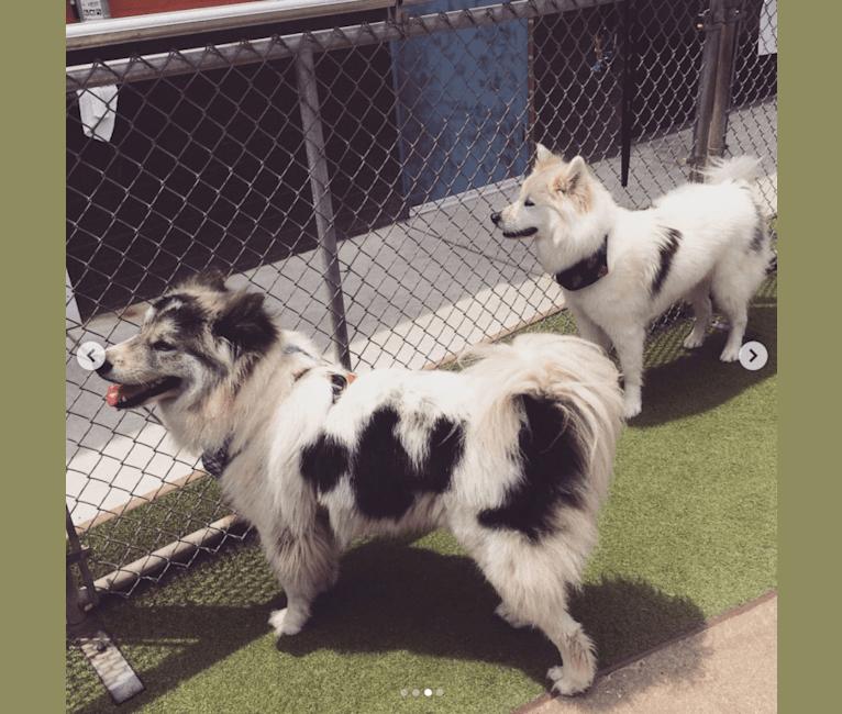 Photo of Roky, a Siberian Husky, Chow Chow, German Shepherd Dog, and Akita Inu mix in Los Angeles, California, USA