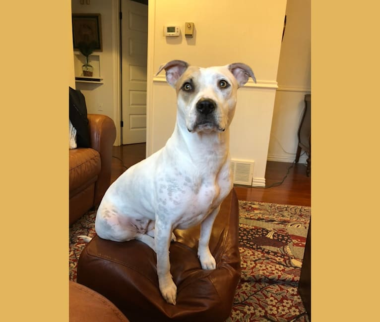 Photo of Flower, an American Pit Bull Terrier mix in Arlington, Texas, USA