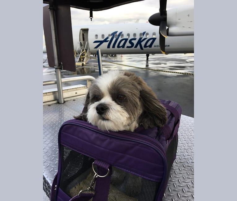 Photo of Ollie, a Malshi  in Ashland, Oregon, USA