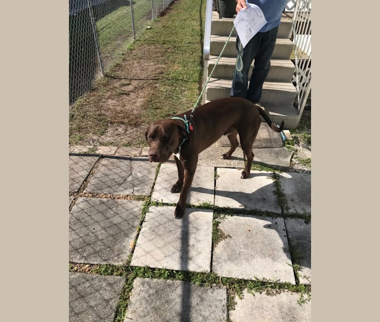 Photo of Bailey, an American Pit Bull Terrier and German Shorthaired Pointer mix in LaBelle, Florida, USA