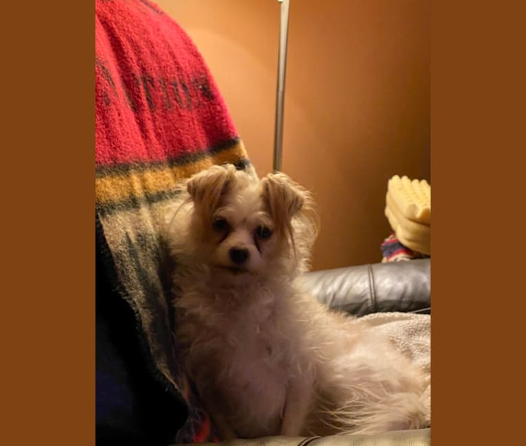 Photo of willa the beast, a Poodle (Small), Chihuahua, Rat Terrier, Australian Cattle Dog, and Mixed mix in Louisville, Kentucky, USA