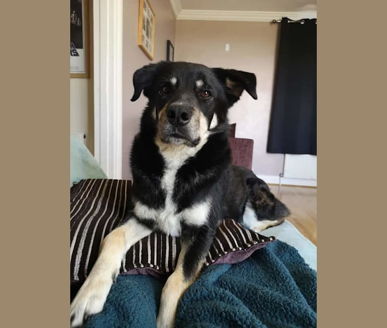 Photo of Diesel, a Border Collie and Siberian Husky mix in Portsmouth, England, United Kingdom