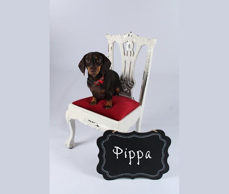 Photo of Pippa, a Dachshund  in Lyles, TN, USA